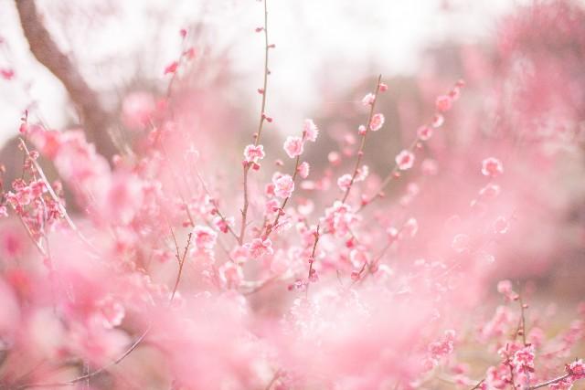 梅の木の剪定時期やその方法は
