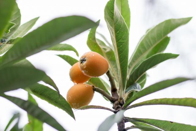 ビワの木を庭に植えると縁起悪いの?