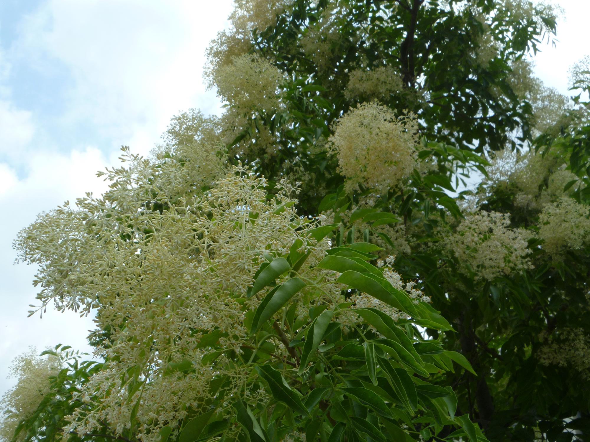 シマトネリコという常緑樹は冬は葉が茶色になります