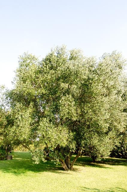 オリーブの木は日陰でも大丈夫なの