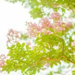 シンボルツリーにサルスベリはどうでしょうか