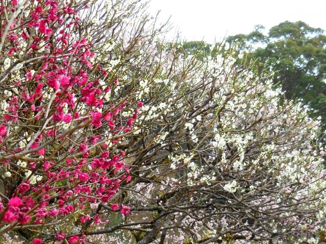 梅の木の害虫カイガラムシの駆除の方法は