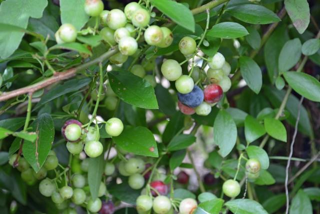 ブルーベリーの剪定で花芽がつくようにするには