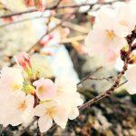 庭に植えると縁起が悪い?桜の木どうしてなの