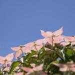 ヤマボウシの剪定方法 葉芽と花芽の見分け方