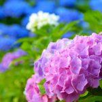アジサイの花が咲かないその原因剪定方法は