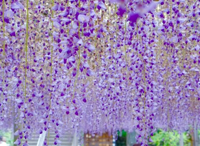 藤の花を育てたい・・でも藤棚のスペースがないその方法は