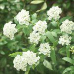 コデマリとユキヤナギの違いと花の見分け方