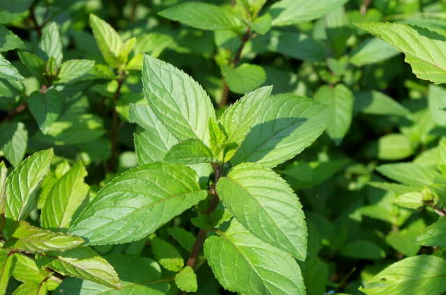 庭植えに植えたい虫除けのハーブの種類は