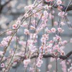 しだれ梅の花を楽しむ剪定の方法と時期について
