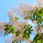 スモークツリーの種類はどんなものがある
