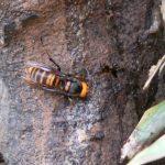 スズメバチの駆除の方法はアナフィラキシーショックになったら大変