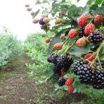 ブラックベリーの剪定と肥料の方法と時期について