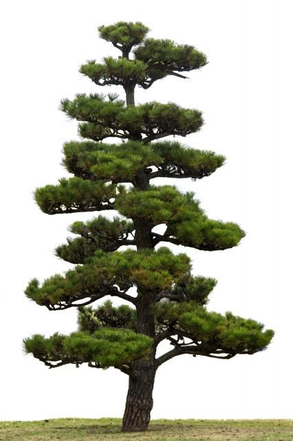 松の木の剪定料金の相場は安く剪定してもらうには