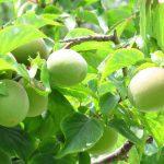 梅を生らしたい実梅の剪定の方法と時期は