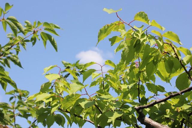 梅の木の剪定と消毒の方法