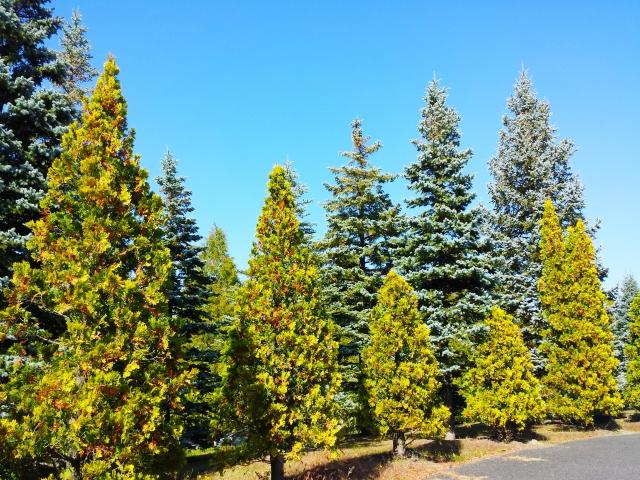 クリスマスツリーみたいな木・・庭木に使いたいどんな木がある