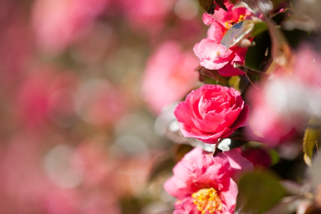 常緑樹で花が咲く・・目隠しにしたい人気の庭木は