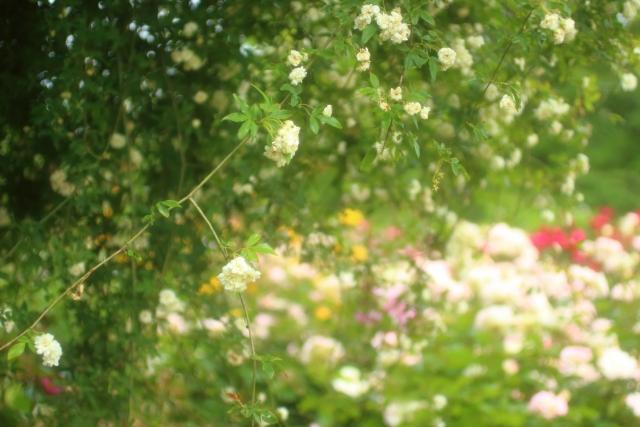 モッコウバラの色は白と黄色どちらがいいかな
