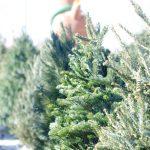 クリスマスツリーの木の名前は庭に植えたい育て方はどうするの