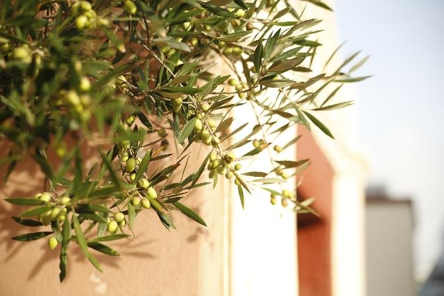 オリーブの木の種類で国内で栽培されるオリーブ人気があるのは