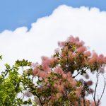 スモークツリーの育て方花が咲かないのはなぜ