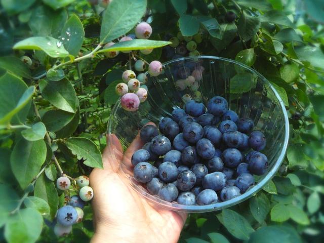 ブルーベリーの品種で大粒で甘い味のものってなに