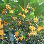 常緑樹で香りのある花を咲かせる庭木は