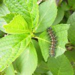 毛虫の駆除の方法は庭の木に毛虫がいっぱいいる