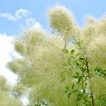 スモークツリーの花後の剪定と剪定時期はいつ