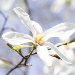 コブシとモクレンの違いと花の見分け方