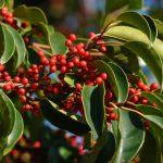 クロガネモチの葉の特徴と育て方