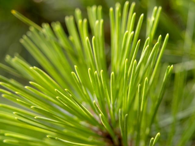 庭木にする松の木はどんな種類あるの
