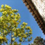 庭木にミモザアカシアを庭に植えたい注意するポイントは