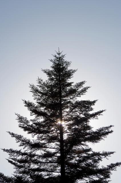モミの木の剪定方法と剪定時期について