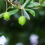 オリーブの木の株元に植える下草はどんなものがいいの