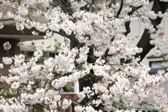 桜の木は切ってはいけない?剪定はどうする