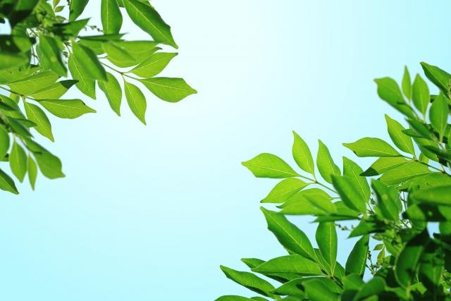 シマトネリコの周辺に低木や下草を植えたいオススメなものは