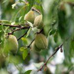 アーモンドの木の育て方鉢植えで育てるポイント