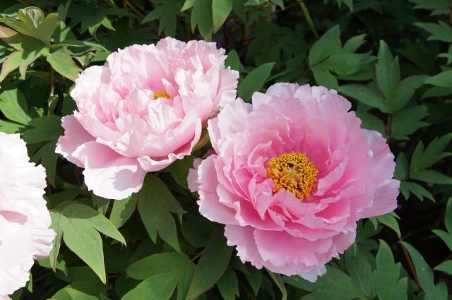 牡丹と芍薬の葉の違いは育てやすいのはどっち