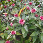 沈丁花の育て方と剪定の方法