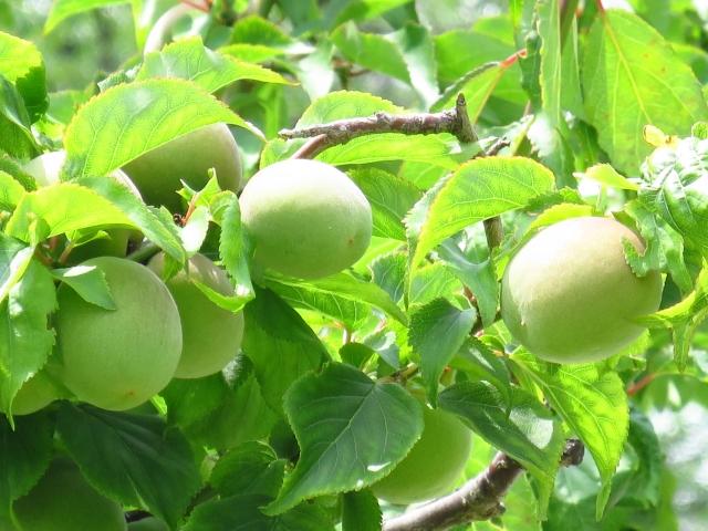 梅干しにする梅の木どんな品種がいいの