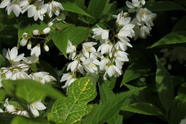 ウツギの花が咲かないその手入れと剪定の方法