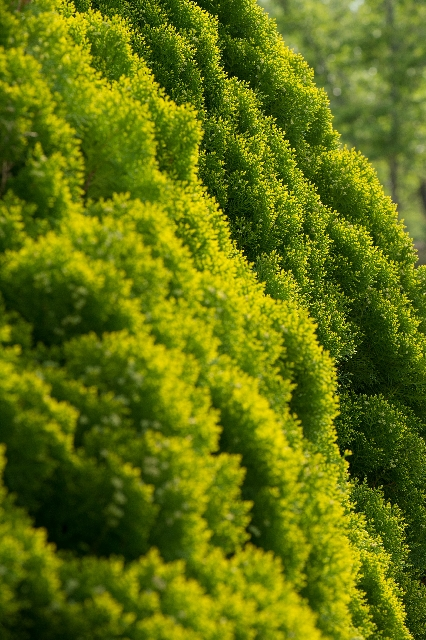 コニファーの植え付けは高さの設定と葉張りを考えて