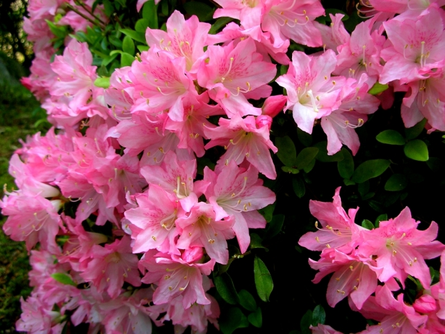 ヒラドツツジの花の特徴と育て方