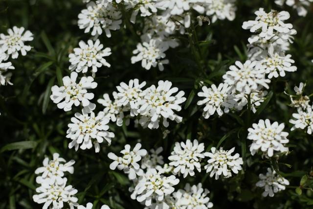 庭に春に白い花を咲かせるおすすめの草花は