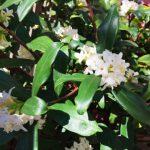 沈丁花の育て方・・植え付け・土壌・剪定・肥料