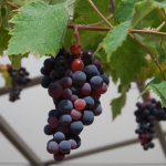 ブドウの剪定のコツと剪定時期