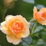 バラの寒肥の配合はどのくらいがいいの