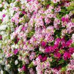 ツツジの種類には常緑と落葉・・花の色も色々庭に植えるなら